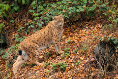 Lynx (Lynx lynx) n the Bavarian forest. Royalty Free Stock Images