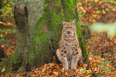 Lynx (Lynx lynx) sitting for a tree in the Bavarian forest, duri Stock Photo