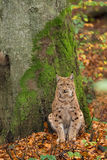 Lynx (Lynx lynx) sitting for a tree in the Bavarian forest, duri Stock Images