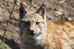 Lynx lynx - mammalia. Vetebrata, chordata stock photo