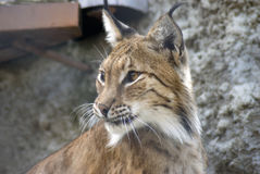 Lynx lynx portrait Royalty Free Stock Images