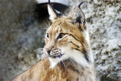 Lynx lynx portrait. Color photo taken in Moscow Zoo Royalty Free Stock Image