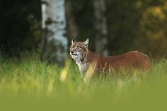 Lynx lynx. Wild nature of Czech. Autumn nature. The wild nature of Europe. Beautiful nature of Czech. Photo was taken in the Czech Republic. Occurrence is in Royalty Free Stock Images