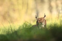 Lynx lynx. Wild nature of Czech. Autumn nature. The wild nature of Europe. Beautiful nature of Czech. Photo was taken in the Czech Republic. Occurrence is in Royalty Free Stock Photo