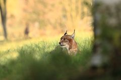 Lynx lynx. Wild nature of Czech. Autumn nature. The wild nature of Europe. Beautiful nature of Czech. Photo was taken in the Czech Republic. Occurrence is in Stock Images