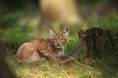 Lynx lynx. Wild nature of Czech. Autumn nature. The wild nature of Europe. Beautiful nature of Czech. Photo was taken in the Czech Republic. Occurrence is in Stock Image