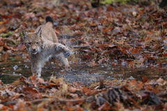 Lynx lynx. Lynx young tomcat wading in a brook shaking his leg Stock Images