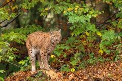 Lynx (Lynxlynx) n het Beierse bos Royalty-vrije Stock Afbeeldingen