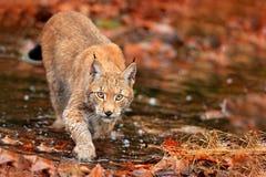 Lynx marchant dans les feuilles oranges avec de l'eau Animal sauvage caché dans l'habitat de nature, Allemagne Scène de faune de  photographie stock
