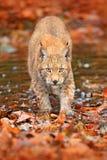 Lynx marchant dans les feuilles oranges avec de l'eau Animal sauvage caché dans l'habitat de nature, Allemagne Scène de faune de  images stock
