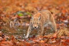 Lynx marchant dans les feuilles oranges avec de l'eau Animal sauvage caché dans l'habitat de nature, Allemagne Scène de faune de  photographie stock libre de droits