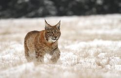 Lynx on meadow Royalty Free Stock Photos
