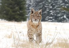 Lynx on meadow Stock Photo