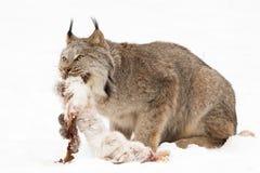 Lynx met de vers gedode hazen van de sneeuwschoen royalty-vrije stock fotografie