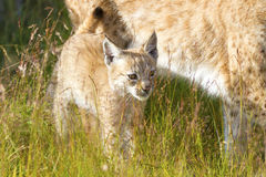 Lynx mother and her cub in the forest Stock Image