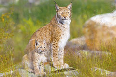 Lynx mother and her cub sits in the forest Stock Images