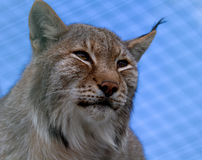 Lynx. Narrowed eyes looks afar Stock Photo