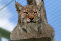 Lynx. Narrowed eyes looks afar Stock Photos
