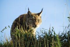 Lynx nascondentesi Fotografie Stock