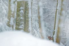 Lynx nascosto nel lince della foresta della neve nell'inverno Scena della fauna selvatica dalla natura ceca Gatto di Snowy nell'h Fotografie Stock Libere da Diritti