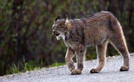 Lynx in Nationaal Park Denali Stock Afbeelding
