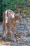 Lynx nella foresta Immagini Stock