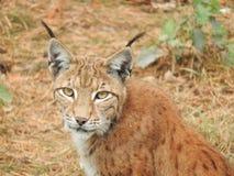 Lynx nella foresta con il cucciolo Immagini Stock Libere da Diritti