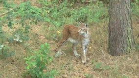 Lynx nella foresta con il cucciolo archivi video
