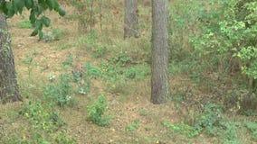 Lynx nella foresta con il cucciolo stock footage