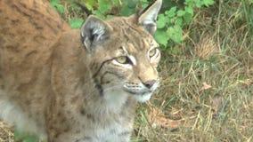 Lynx nella foresta con il cucciolo video d archivio