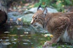 Lynx nella foresta, un ritratto Immagine Stock