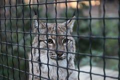 Lynx nella gabbia Fotografia Stock
