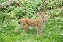 Lynx nella natura Immagini Stock