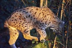 Lynx nella natura Fotografie Stock Libere da Diritti