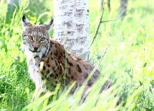 Lynx in Noorwegen Stock Afbeelding