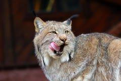 Lynx nord-américain Photographie stock libre de droits