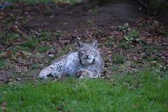 Lynx nordique images libres de droits