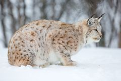 Lynx in a norwegian forest. A european lynx in the snow. Cold winter, February, Norway Stock Photos