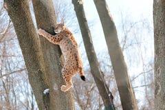 Lynx op de boom Royalty-vrije Stock Foto's