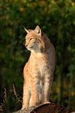 Lynx op de boomboomstam Het zitten van wilde katten Europees-Aziatische Lynx in oranje de herfstbladeren, bos op achtergrond Het  Stock Afbeeldingen
