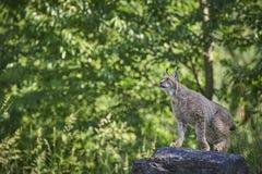 Lynx op een rots Stock Afbeelding