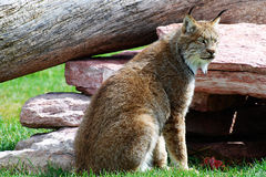 Lynx op het Horloge Stock Fotografie