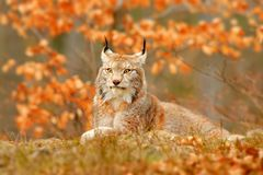 Lynx in orange autumn forest. Wildlife scene from nature. Cute fur Eurasian lynx, animal in habitat. Wild cat from Germany. Wild. Bobcat between the tree leaves stock photography