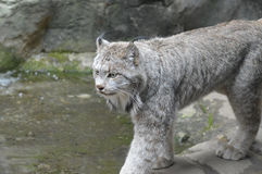 Lynx. A lynx in the outdoors Stock Images