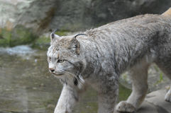 Lynx. A lynx in the outdoors Royalty Free Stock Photography