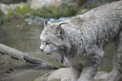 Lynx. A lynx in the outdoors Stock Image