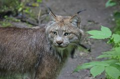 A lynx in the outdoors. During summer Stock Photo