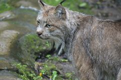 A lynx in the outdoors. During summer Royalty Free Stock Photography