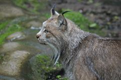 A lynx in the outdoors. During summer Royalty Free Stock Image