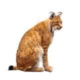 Lynx over wit Royalty-vrije Stock Afbeelding